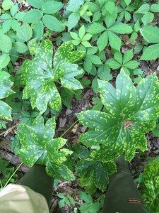 Podophyllum peltatum - Sunny Fleming