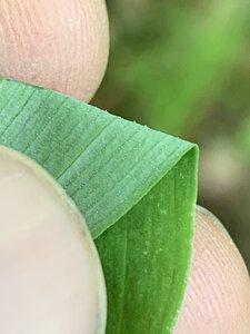 Polygonatum pubescens - Dwayne Estes