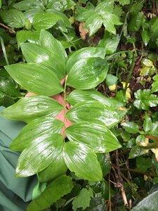 Polygonatum pubescens - Joey Shaw