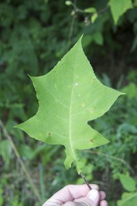 Polymnia canadensis - Dwayne Estes