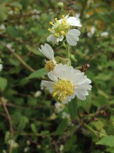Polymnia canadensis - Milo Pyne