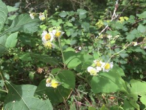 Polymnia canadensis - Sunny Fleming