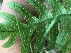 Polypodium appalachianum - Joey Shaw