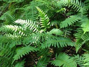 Polypodium appalachianum - Milo Pyne