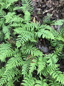 Polypodium appalachianum - Sunny Fleming
