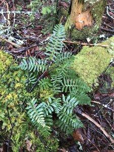 Polypodium virginianum - Ashley B. Morris