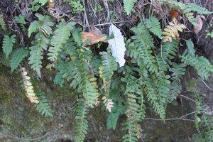 Polypodium virginianum - Dwayne Estes