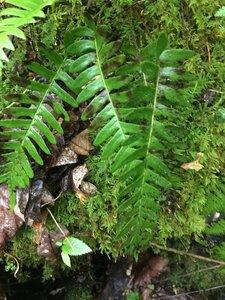 Polypodium virginianum - Joey Shaw