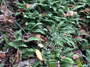 Polypodium virginianum - Milo Pyne