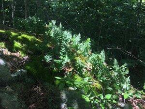 Polypodium virginianum - Tara Littlefield