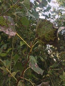Populus deltoides ssp. deltoides - Tara Littlefield
