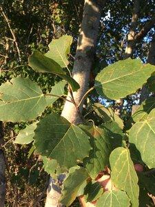 Populus grandidentata - Dwayne Estes
