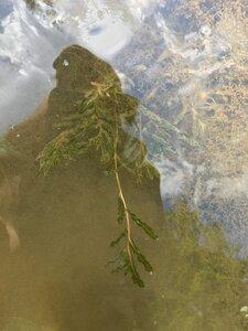 Potamogeton crispus - Tara Littlefield