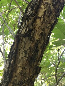 Prunus americana - Joey Shaw