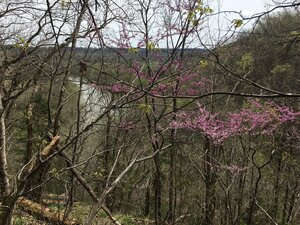 Prunus americana - Tara Littlefield