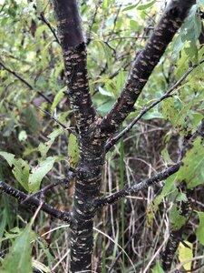 Prunus angustifolia - Ashley B. Morris