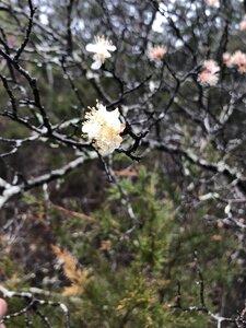 Prunus angustifolia - Sunny Fleming