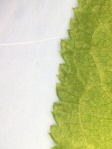 Prunus mexicana - Joey Shaw