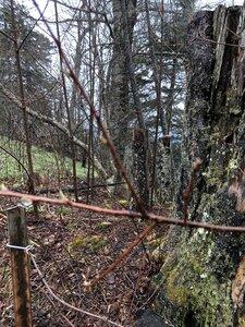 Prunus pensylvanica - Ashley B. Morris