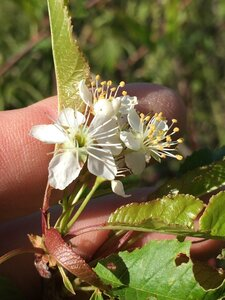 Prunus pensylvanica - Joey Shaw
