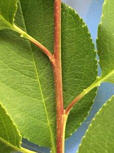 Prunus serotina - Joey Shaw