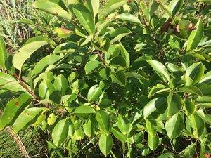 Prunus serotina - Theo Witsell