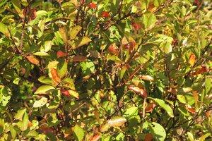 Prunus virginiana - Milo Pyne