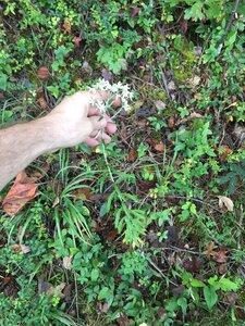 Pseudognaphalium obtusifolium - Joey Shaw
