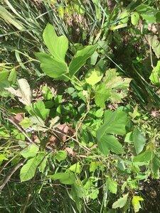 Pueraria montana var. lobata - Tara Littlefield