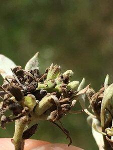 Pycnanthemum albescens - Dwayne Estes