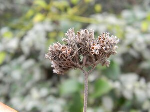 Pycnanthemum curvipes - Dwayne Estes