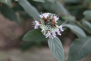 Pycnanthemum curvipes - Joey Shaw