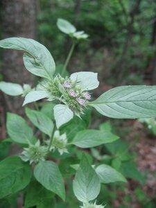 Pycnanthemum incanum - Tara Littlefield