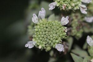 Pycnanthemum loomisii - Dwayne Estes