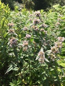 Pycnanthemum montanum - Dwayne Estes