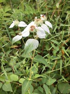 Pycnanthemum muticum var. muticum - Dwayne Estes