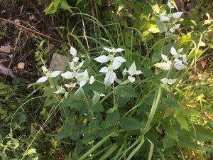 Pycnanthemum muticum var. muticum - Theo Witsell