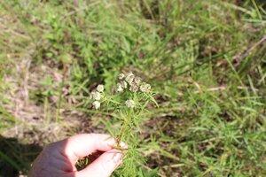 Pycnanthemum tenuifolium - Ashley B. Morris