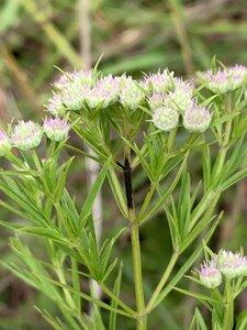 Pycnanthemum tenuifolium - Dwayne Estes