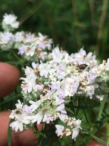 Pycnanthemum tenuifolium - Joey Shaw