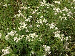 Pycnanthemum tenuifolium - Milo Pyne