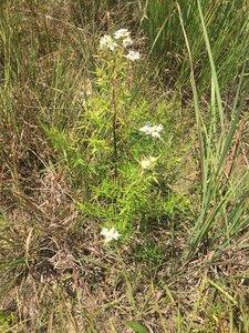 Pycnanthemum tenuifolium - Tara Littlefield