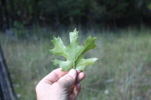 Quercus acerifolia - Dwayne Estes