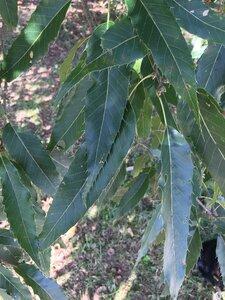 Quercus acutissima - Joey Shaw
