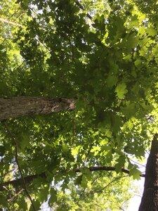 Quercus alba - Dwayne Estes