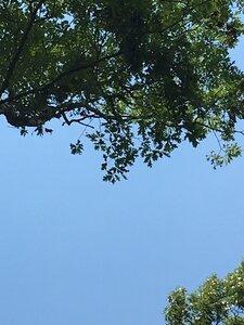 Quercus alba - Joey Shaw