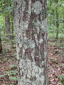 Quercus coccinea - Dwayne Estes