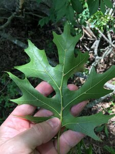 Quercus coccinea - Joey Shaw