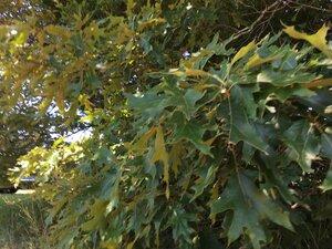 Quercus falcata - Dwayne Estes