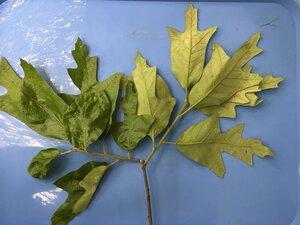 Quercus falcata - Joey Shaw